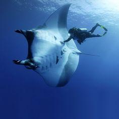 diving with mantaray