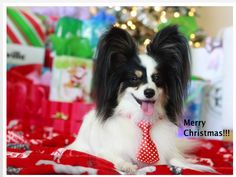 Merry Christmas from Papillon Rhett!!!