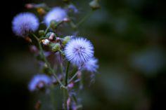 https://flic.kr/p/d7uv7o   WA Wildflowers   Taken near Woodland, WA and Mt. Saint Helen