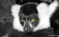 Black and White Ruffed Lemur - http://animalsearth.org/black-and-white-ruffed-lemur/