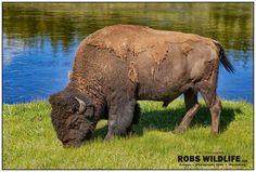 Spring cleaning...... errr..... molting Yellowstone bison edition. . . . . #yellowstonenationalpark #yellowstone #bison #tatonka #molting #springishere #springiscoming #springcleaning #springfashion #buffalo #buffalove #mammals #instagram #instagood #instafur #furcoat #fur #wintercoat #water #grass #venison #grazing #utahphotographer #wyoming #canonphotography #canon #wildlifeplanet #wildlifephotography