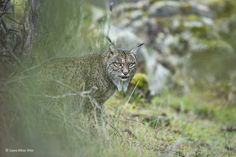 Glimpse of a lynx