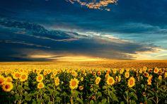 Sunflower Field Wallpaper | Sunflower field wallpaper #2389