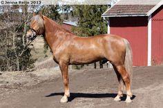 Finnhorse - stallion Neviisi
