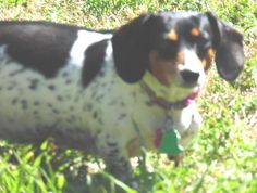 Meet Dottie #4 in NH, a Petfinder adoptable Dachshund Dog | Nashville, TN | Farmington, NHNAME:  DottieAGE:  6 YearsSEX:  FemaleWEIGHT:  17lbs needs to be 11lbsCOLOR:  Black &...