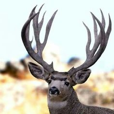 Nice rack on this trophy Muley!