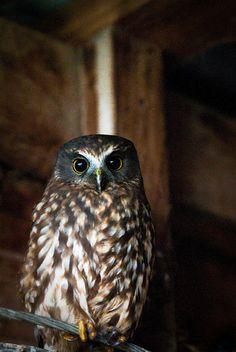 Morepork, owl endemic to New Zealand. Maori name: ruru.