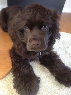 chocolate american cocker spaniel puppies - Google Search