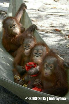 "A Group of Cute Baby Orangutans.  ""Adorable, Cute Baby Animals"""