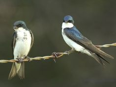 The adult female tree swallow is on the left, and the adult male tree swallow is on the right.