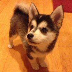 Pomeranian + Husky = Pomsky. My two favorite dogs ... In one!!!