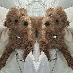 What if there were two of me?!  #puppydreams by ohrileydoodle