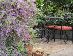 Shrub for patio area: variegated mint bush in the forefront of photo. Nice and light and airy. Australian Flowers, Dream Garden, Shrubs, Bloom, Mint, Exterior, Patio, Outdoor Decor, Plants