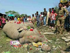 Tragic - 18 Year Old Elephant Moved down by Train at Naxalbari near Siliguri today morning   The tragedy occurred on the Siliguri-Katihar route. Since 2004 as many as 62 elephants were mowed down by speeding trains on the New Jalpaiguri-Alipurduar route that passes through forests.  ByPramod Giri Hindustan Times  A tusker was mowed down by a train in the wee hours of Wednesday at Kiran Chandra Tea Garden Naxalbari near Siliguri in Darjeeling district. The tragedy comes just 72 hours after an…