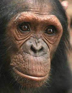 Chimpanzee genius proves that intelligence is different in primates - Animals Pictures Animals And Pets, Baby Animals, Funny Animals, Cute Animals, Los Primates, Les Innocents, Baby Chimpanzee, Ape Monkey, Pet Portraits