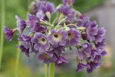 Asiatic Primulas, Mail Order | Penny's Primulas