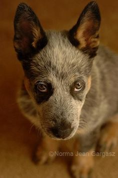 I have never seen any other breed actually look up at you. lol <3 my blue heeler! xoxo Todd