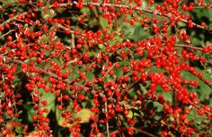 Cotoneaster attracts birds (Tommy Holden)