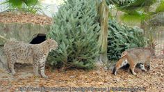 Bobcats, Little White Dove & Running Bear, checking out their Christmas tree.  These cats LOVE Christmas Trees!  Does YOUR CAT?