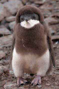 magicalnaturetour: Cute baby penguin by Sergei Kokinsky :) is that you paul mccartney? Cute Baby Penguin, Cute Baby Animals, Animals And Pets, Funny Animals, Penguin Craft, Wild Animals, Beautiful Birds, Animals Beautiful, Beautiful Pictures