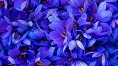 Saffron crocus flowers in Spain ( Juan-Carlos Munoz/Minden Pictures) Saffron Crocus, Saffron Flower, Autumn Flowering Plants, Fall Plants, Black Rose Flower, White Flower Farm, Bulb Flowers, Purple Flowers, Growing Saffron