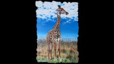 Giraffe is a T Shirt designed by CamphuijsenArt to illustrate your life and is available at Design By Humans