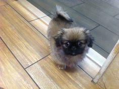 #Pekingese pup = Rediculous