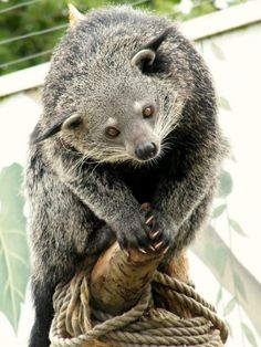 Binturong - The binturong (Arctictis binturong), also known as bearcat and Palawan binturong, is a viverrid found in South and Southeast Asia. It is uncommon or rare over much of its range and listed as Vulnerable by IUCN because of a population decline estimated to be more than 30% over the last 30 years
