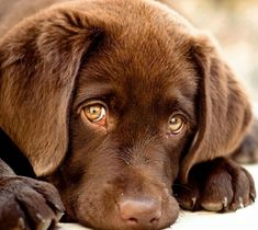 OMG... sooooo cute... choclate Lab