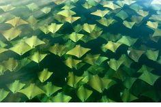 Las mantarrayas emigran 2 veces al año en primavera y en otoño. Si tienes suerte puedes ver como más de 10.000 ejemplares viajan desde la provincia de Yucatán en Mexico hasta Florida para volver al cabo de 6 meses.