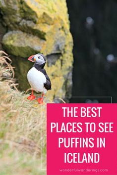 Want to know where you can find puffins, the birds with the orange beak and feet, in Iceland? Click to read or pin and save for later