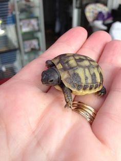 Baby tortoise! I will have one of these one day and it will be called Bruce!