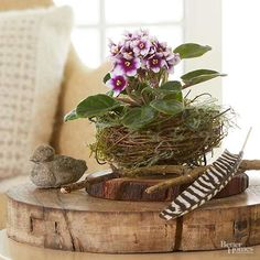 Once considered stuffy and conventional, today's African violet might be the prom queen of houseplants. African violets (Saintpaulia) bloom nearly year-round. Flowers might be simple, frilly, or shaped like wasps,/ Year Round Flowers, Apothecary Jars Decor, African House, Violet Plant, Saintpaulia, Indoor Plant Pots, Woodland Decor, Floral Arrangements, Flower Arrangement