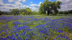 Texas Hill Country blooms in the spring - LA Times