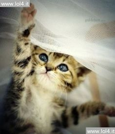 This made my day! this blue eyed kitten playing with fabric I want it!