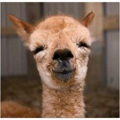alpaca alpaca alpaca