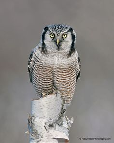 Northern Hawk Owl by Rick Dobson on 500px