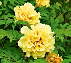 Paeonia Age of Gold  Common Name: Tree Peony Hybrid  Hardiness Zone:  4-8 S / 4-8 W  Height: 4-5'  Deer Resistant: Yes  Exposure: Full or Part Sun  Blooms In: May-June  Spacing: 4-5'