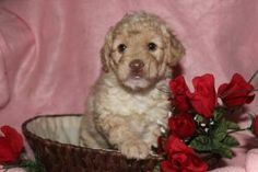 Mini Puppies, Cute Puppies, Labradoodle Puppies For Sale, Lancaster, Pennsylvania, Dogs, Animals, Animales, Animaux