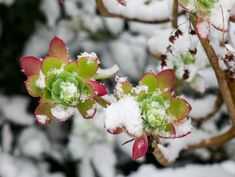 die besten 25 sukkulenten winterhart ideen auf pinterest gartenpflanzen winterhart. Black Bedroom Furniture Sets. Home Design Ideas