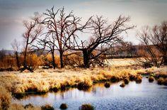 Trees across a grassy wetland
