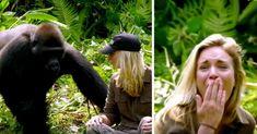 Felnevelt egy gorillát, 6 évvel később feleségét is bemutatja  – de a figyelmeztetések ellenére túl közel mentek