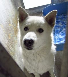 A4680492 - I am a friendly 5 yr old female white German Shepherd mix! Please help me get out of this place! Baldwin Park Shelter 4275 Elton Street, Baldwin Park, CA 91706 Phone 626 430 2378 https://www.facebook.com/photo.php?fbid=742685752409931&set=a.705235432821630&type=1&theater