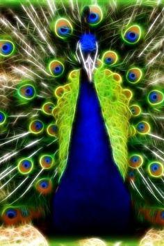 Peacock - - so regal!