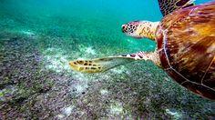 🐢 Nemo film I learned that turtles can live 150 to 200 years depending on the species.  /  🐢 De la película de Nemo aprendí que las tortugas pueden vivir entre 150 a 200 años según su especie.    #GoPro #GoProMx #GoProTravel #PhotoOfTheDAy #InstaGood #Me #México #PicOfTheDay #InspiredByYou #BeAHero #GoProHero #GoPole #LoveToGoPro #GoProMoff #ab #FotoDelDía #MochileroMx #go_pro_life #Travel #Cancun #Beach #QuintanaRoo #MéxicoDesconocido #RivieraMaya #Turtle #VisitMexico