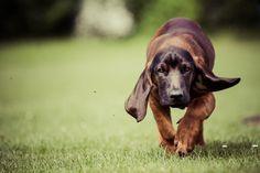 Schlappohr Dogs, Animals, Animal Photography, Animales, Animaux, Pet Dogs, Doggies, Animal, Animais
