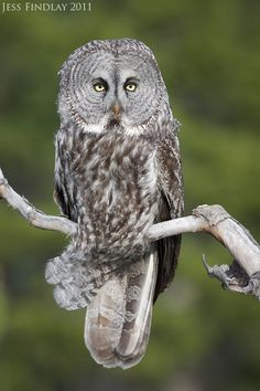 Great Gray Owl by Jess Findlay  I have actually seen one of these magnificent owls in the wild! =)