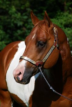 Big Step Go For Cash (Big King Kurt Step x Tardys Lady Go) 2002 Sorrel Tobiano German APHA Stallion