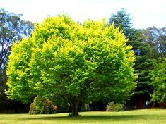 Golden Elm is an eye-catching, golden-leaved Elm with a wide spreading habit. This Elm is a very impressive shade tree that creates good foliage contrast. Garden Trees, Garden Planters, Trees And Shrubs, Trees To Plant, Hello Hello Plants, Cold Climate Gardening, Fast Growing Evergreens, Baumgarten, Elm Tree