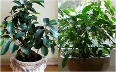 ficus Ficus, Geraniums, Flora, Plants, Balcony, Plant, Figs, Fig, Planets